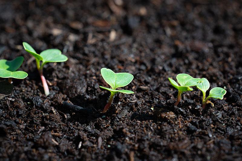 Groddplantor av rättika