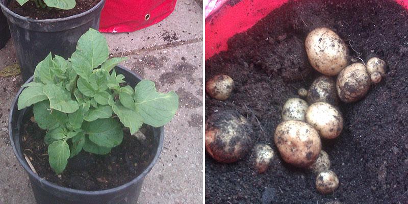 potatisodling i svarta hinkar och säck med skörd
