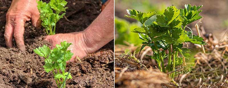 Utplantering av rotselleri småplantor