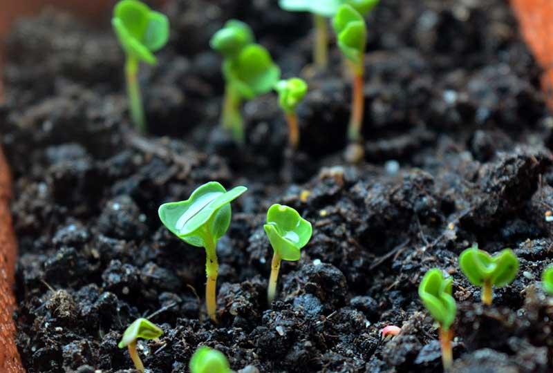 Nysådd rucola med groddplantor
