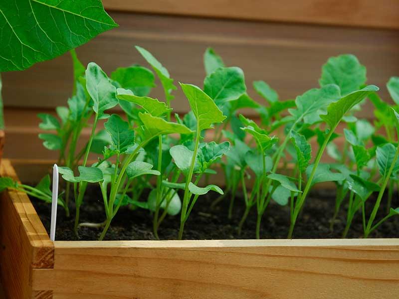 Rucola odlad i sålåda i växthus