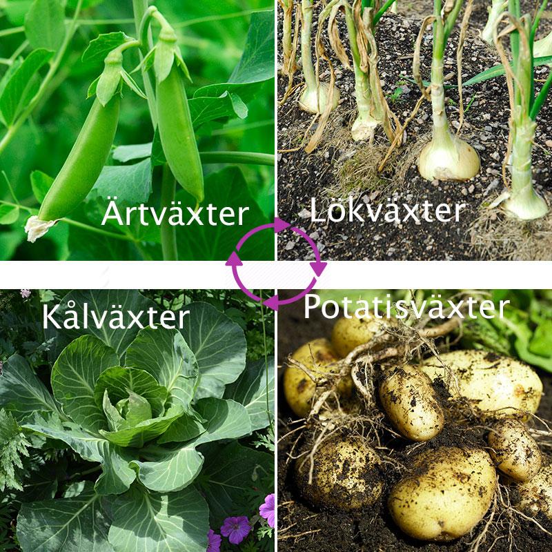 Växtföljd med fyra olika grönsaker som byter plats