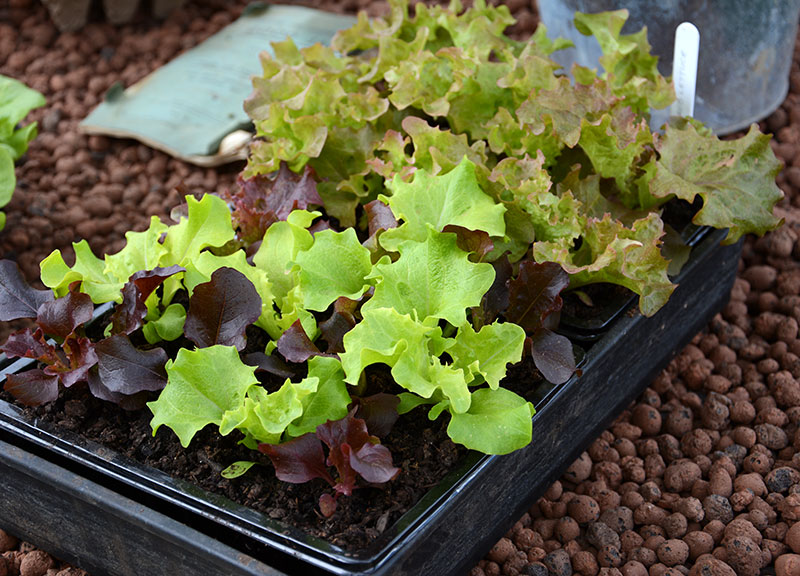 Odlingstråg med småplantor av sallat