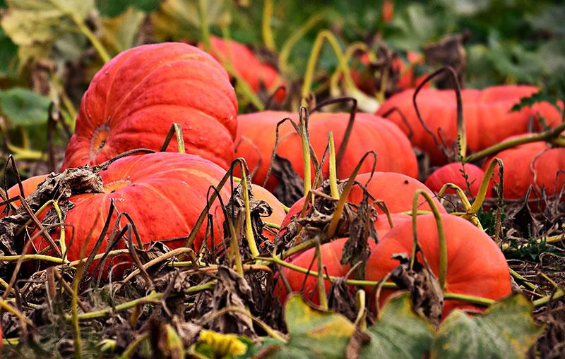Skörd av pumpor på hösten