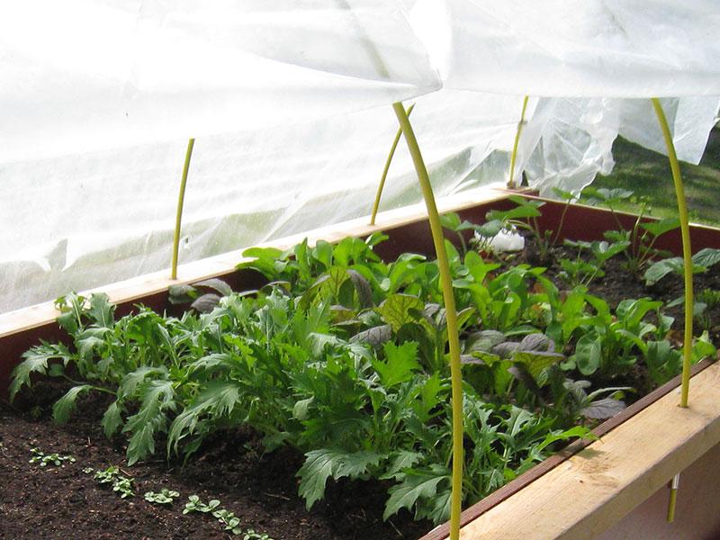 Odling av sellerikål asiatiska grönsaker i pallkrage