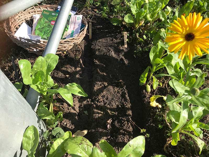 Sommarsådd av grönsaker i köksland