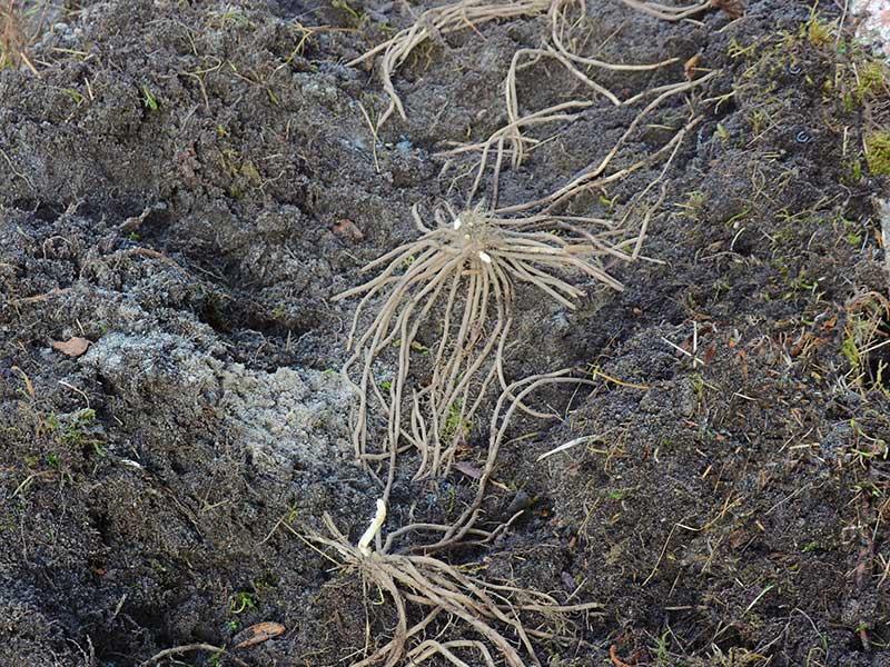 Plantering av sparris kronor