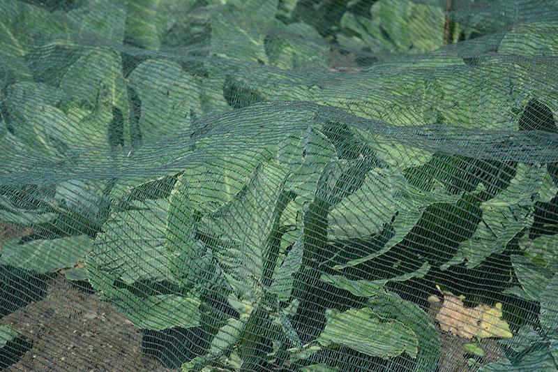 Kålnät mot skadedjur vid odling av spetskål