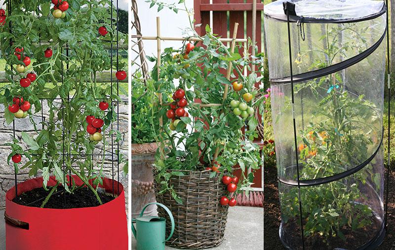 Tomatodling på balkong i kruka