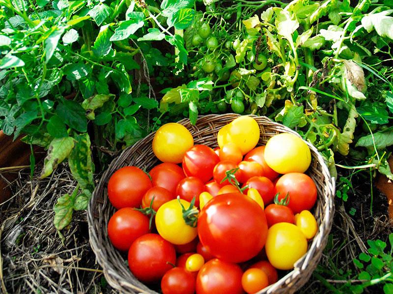 skörd av olika sorters tomater i korg