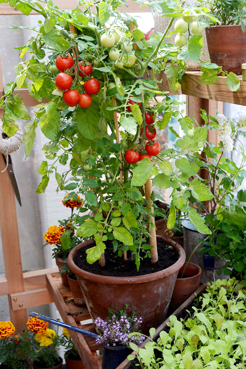 tomatplanta i växthus i kruka