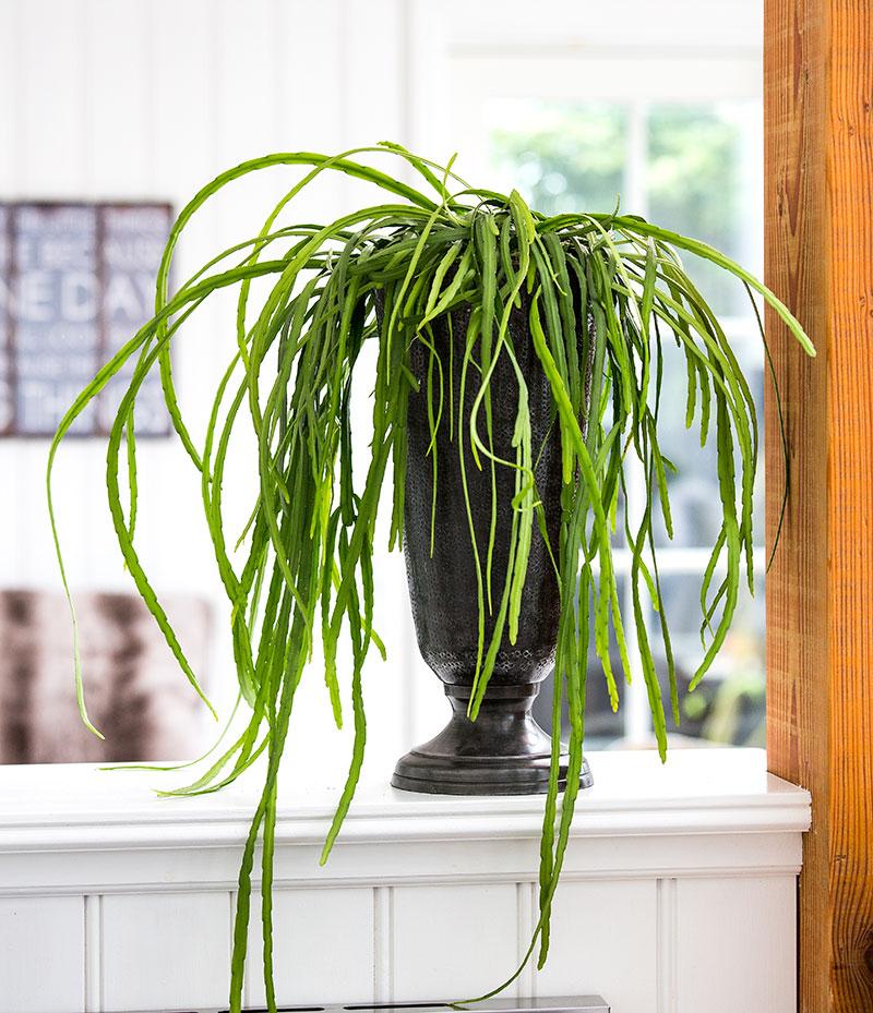 Lepismium bolivianum kaktus krukväxt inomhus
