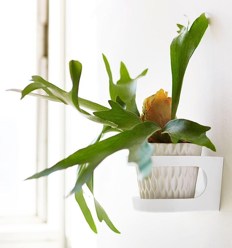 Älghornsbräken Platycerium bifurcatum grön krukväxt inomhus