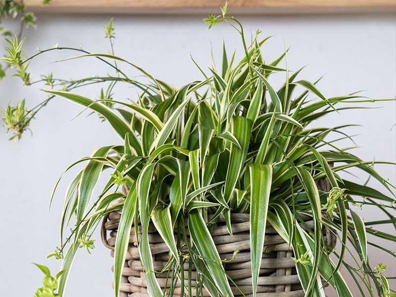 ampellilja-Variegatum-krukväxt