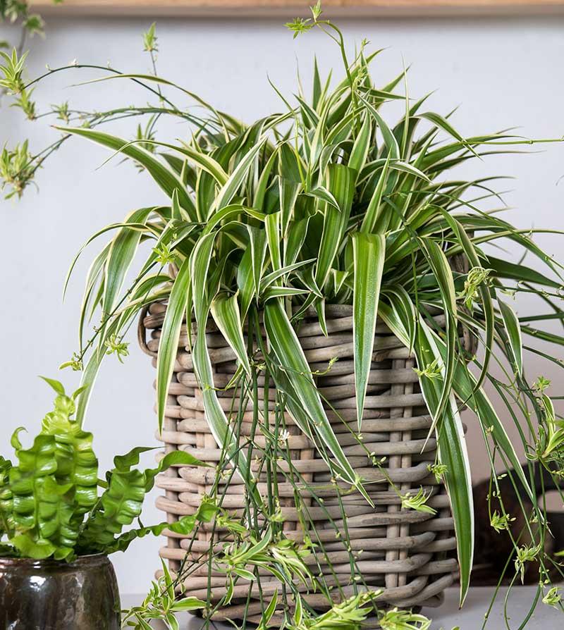 Ampellilja som krukväxt med sticklingar