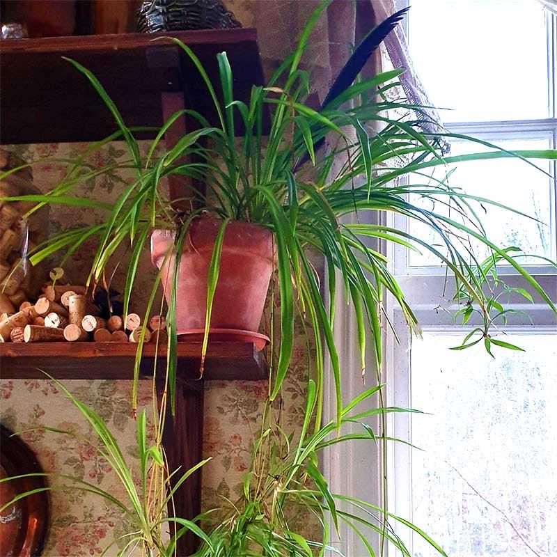 Grönbladig ampellilja