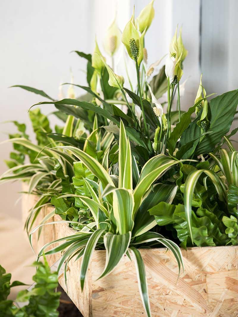Ampellilja och fredskalla som luftrenare krukväxter