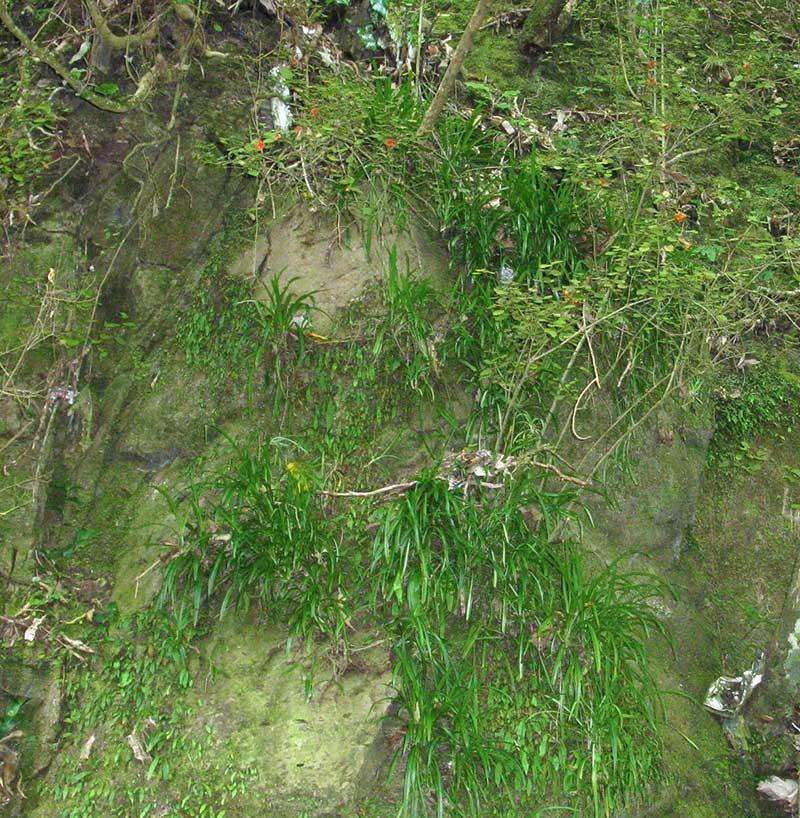 Vildväxande ampellilja