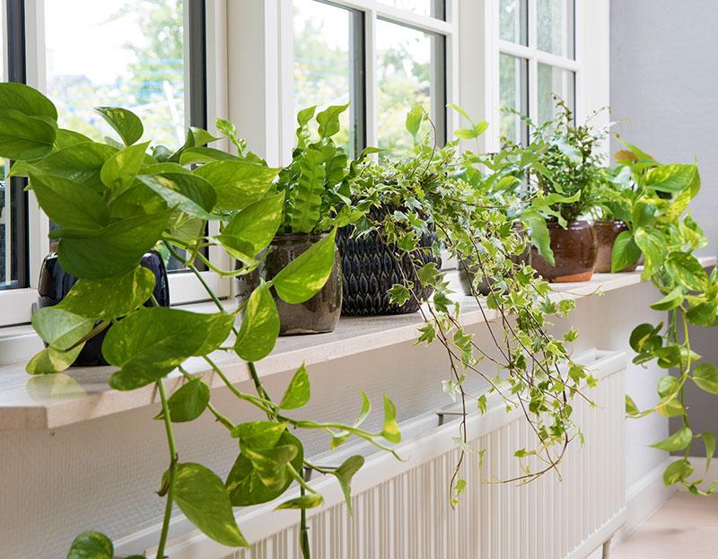 Gröna krukväxter som renar luften