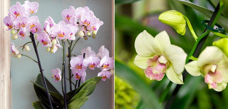 Luftrenande krukväxter brudorkidé och Dendrobium
