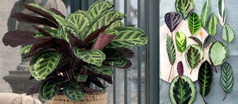 Luftrenande krukväxter påfågelsblad Calathea