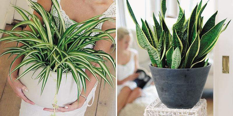Luftrenande krukväxter ampellilja och svärmors tunga