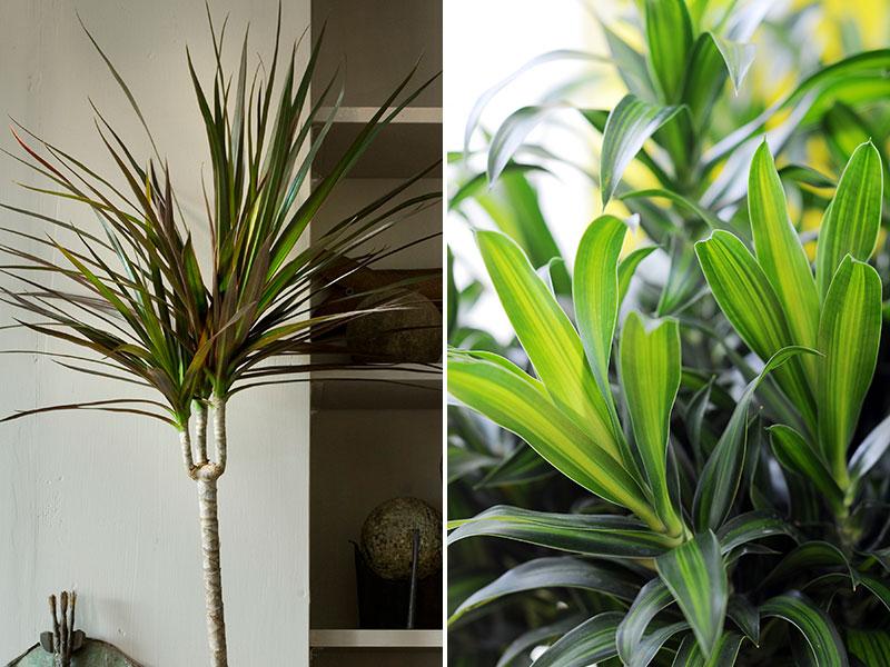 Luftrenande krukväxter kantdracena och banddracena