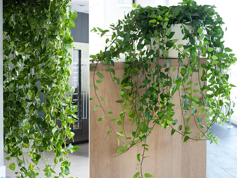 luftrenare krukväxter gullrankan och murgröna