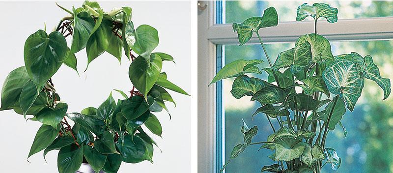 Luftrenande krukväxter klätterkalla och pilspetsranka