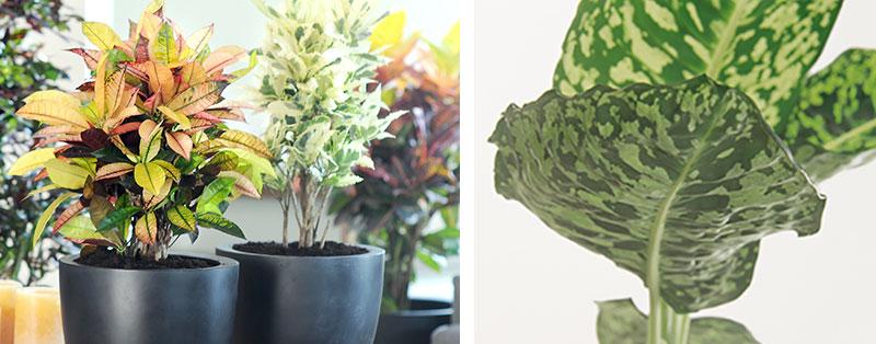 Luftrenande krukväxter kroton och prickblad