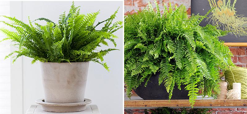 Luftrenande krukväxter ormbunke och spjutbräken
