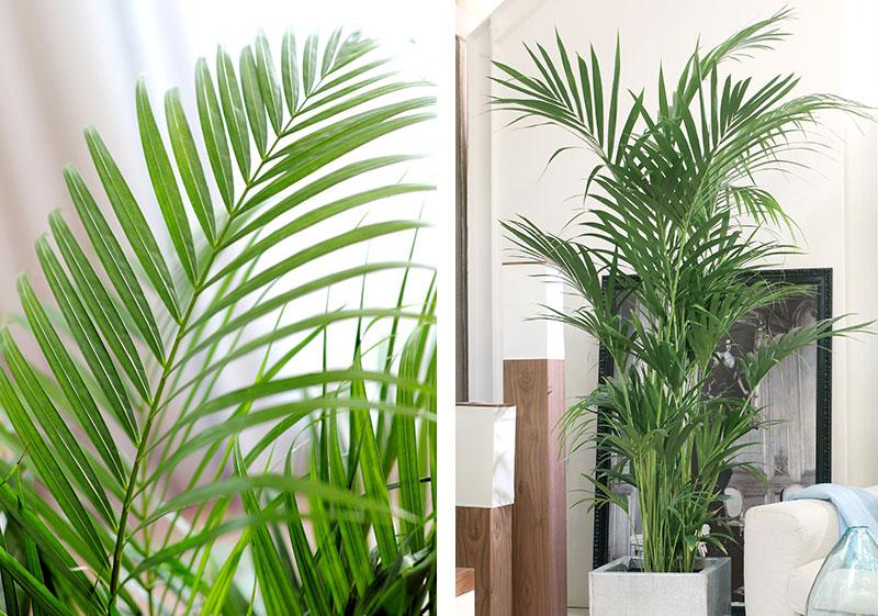 Luftrenande krukväxter guldpalm och bambupalm