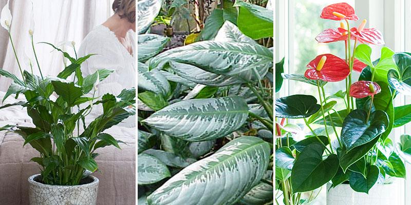 Luftrenande krukväxter fredskalla, silverkalla och rosenkalla