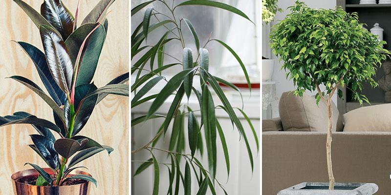 Luftrenande krukväxter fönsterfikus, bambufikus och benjaminfikus