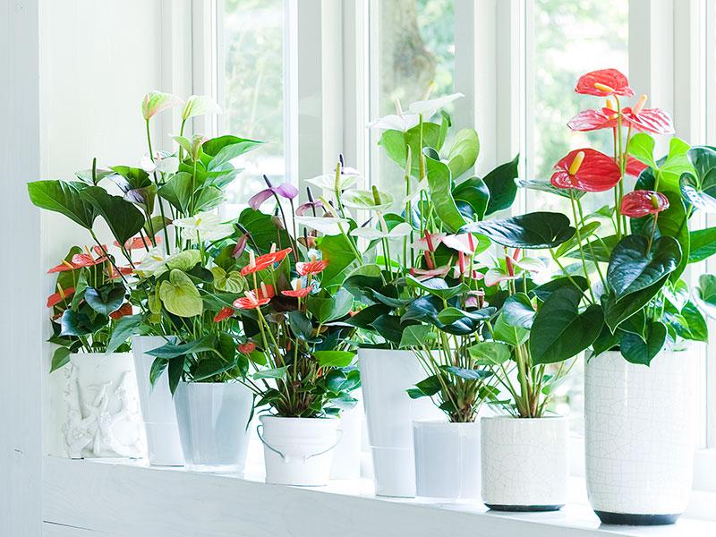 Luftrenare krukväxter rosenkalla