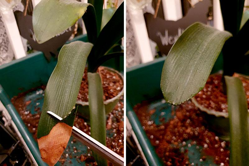 Fula blad klipps i rätt form