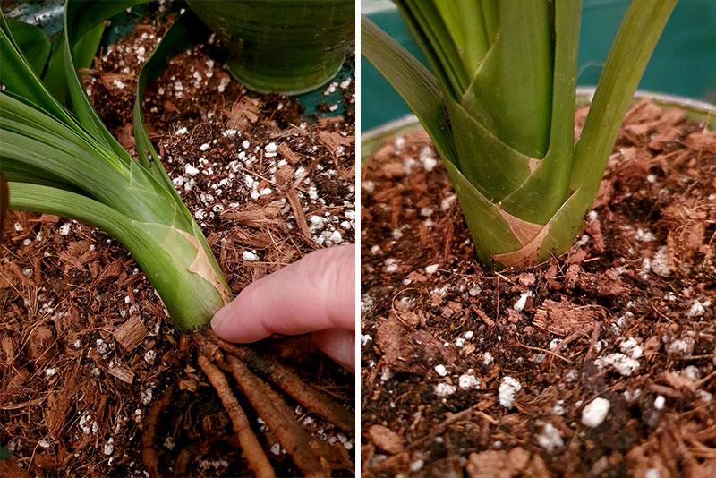 Sätt plantan på samma höjd i nya krukan