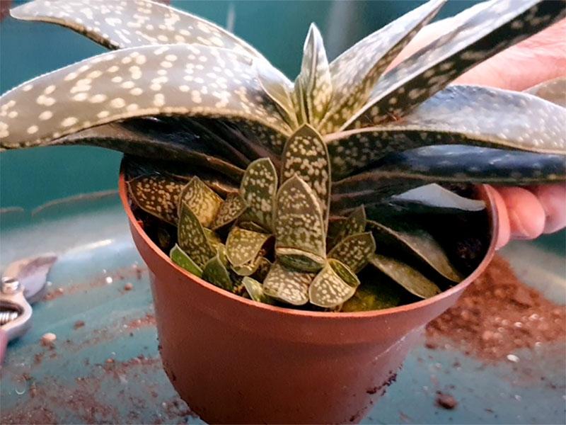 Haworthia med många nya bladrosetter