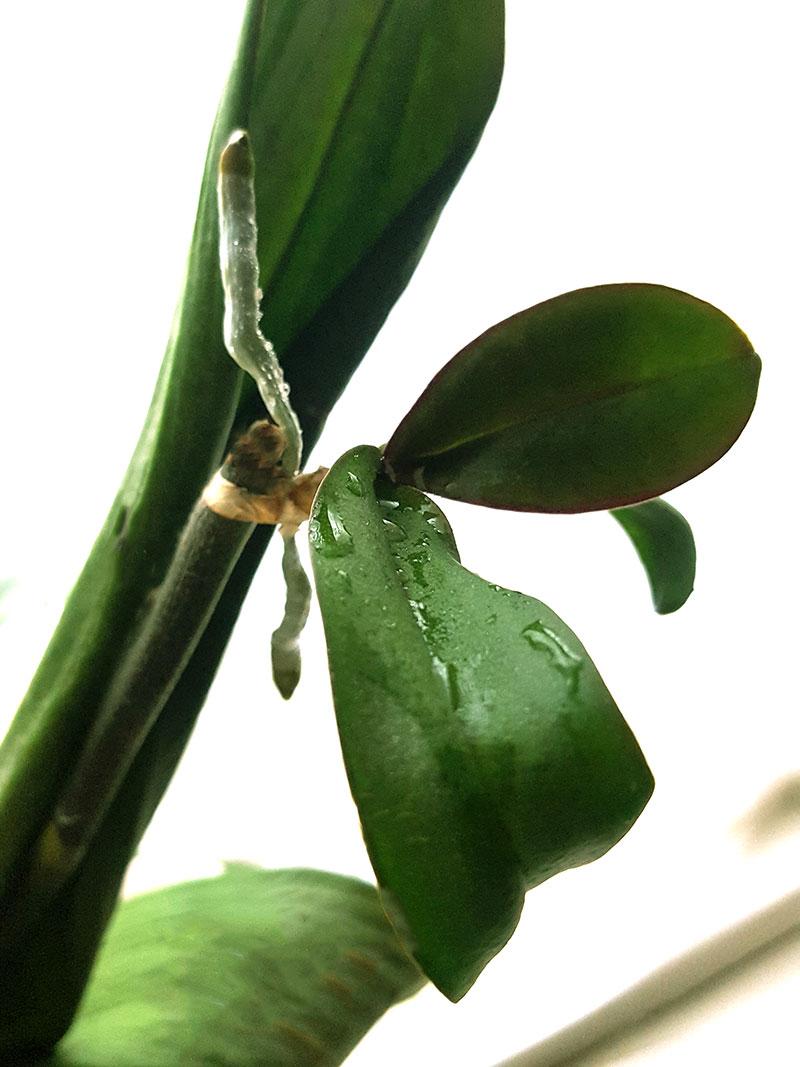 Keiki hos orkidé, klar att plantera
