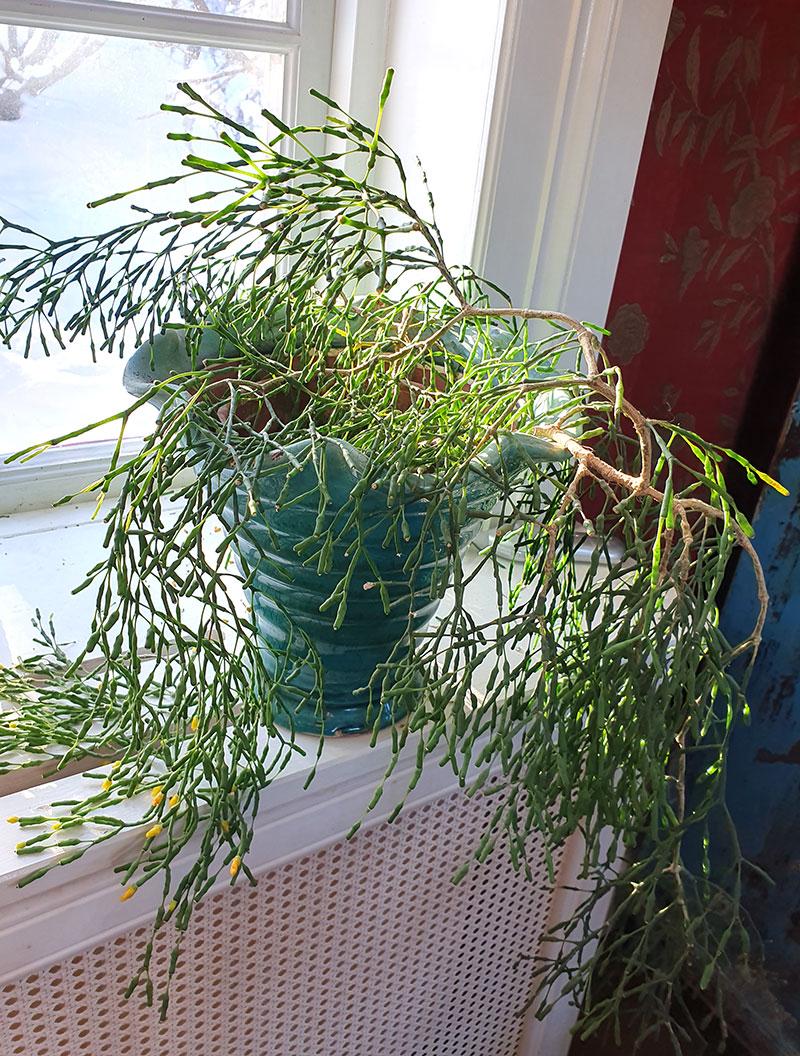 Glasörtskaktus i kruka på fönsterbrädan
