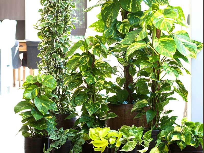 Olika sorter av gullranka Epipremnum krukväxt