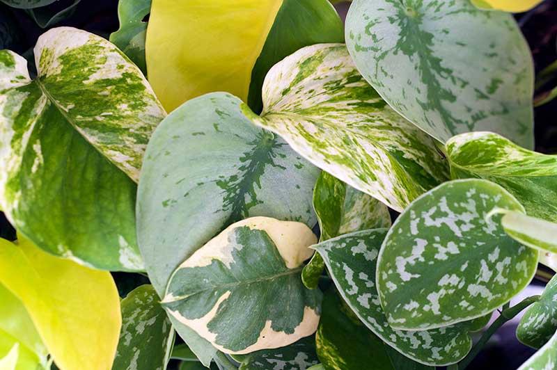 Olika blad och sorter av gullranka Epipremnum