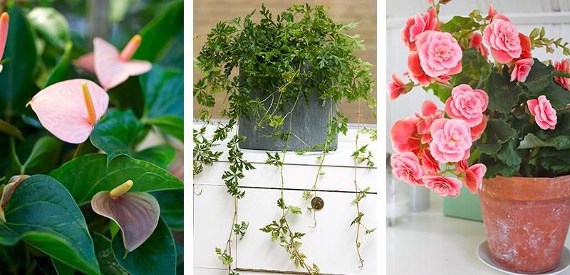 Blommande krukväxter för ljus placering