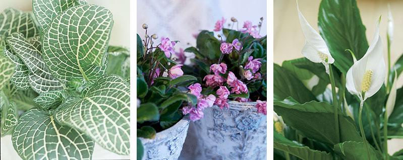 Krukväxter som trivs i skuggigt läge