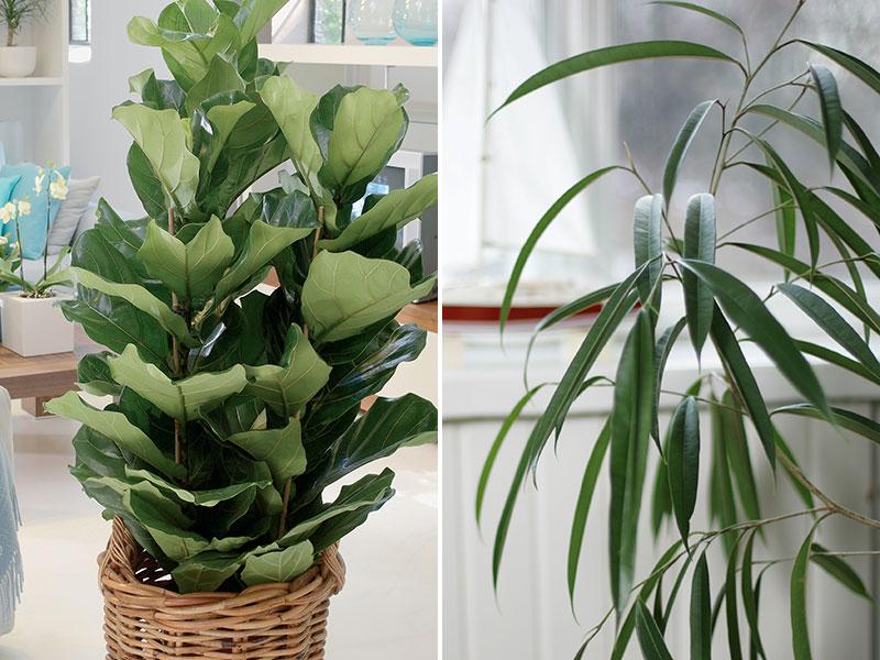 Fiolfikus och bambufikus i heminredning