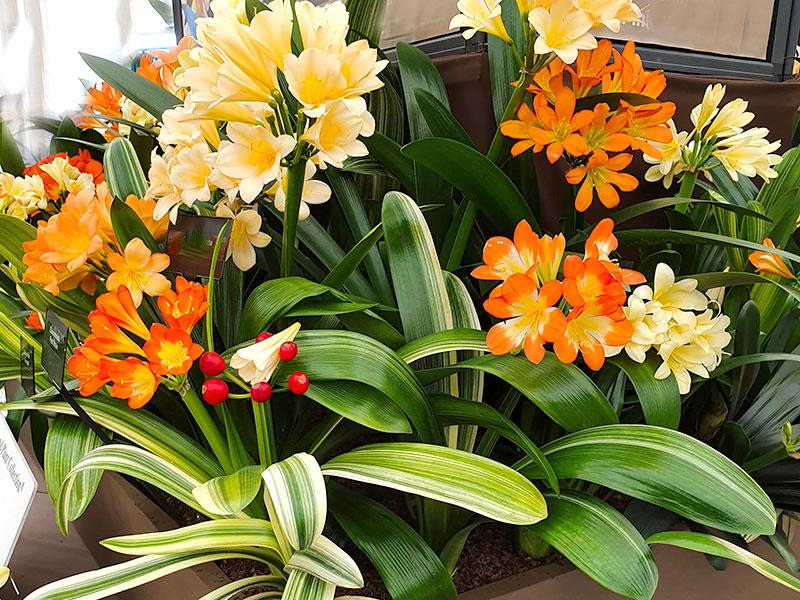 Mönjelilja, clivia med blommor i flera olika färger