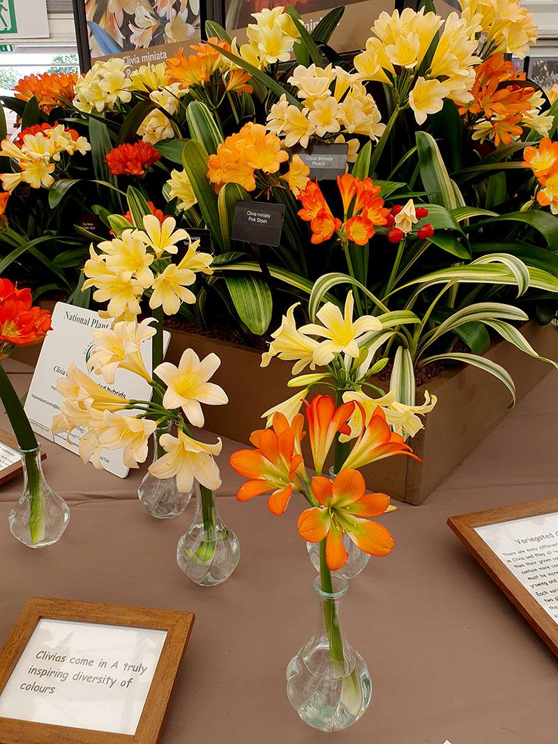 Clivia, mönjelilja finns med blommor i många olika färger från gult, organge och rött