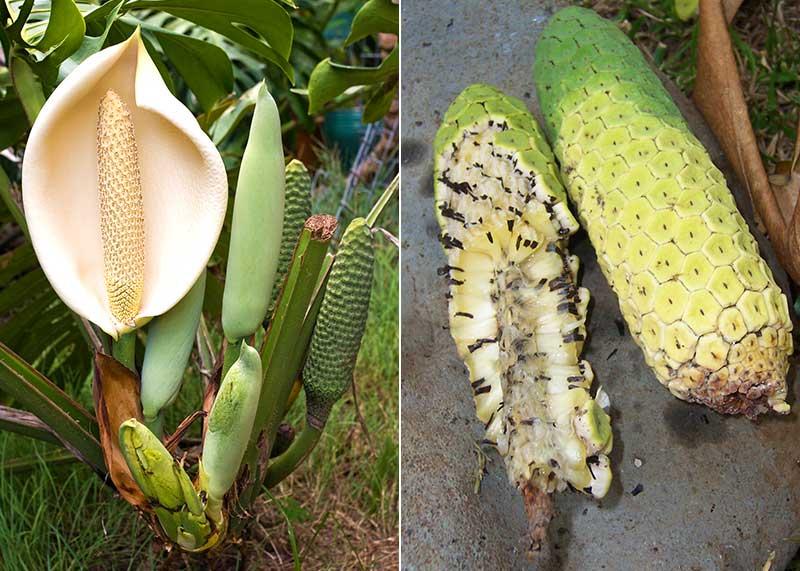 Blomma och frukt av monstera