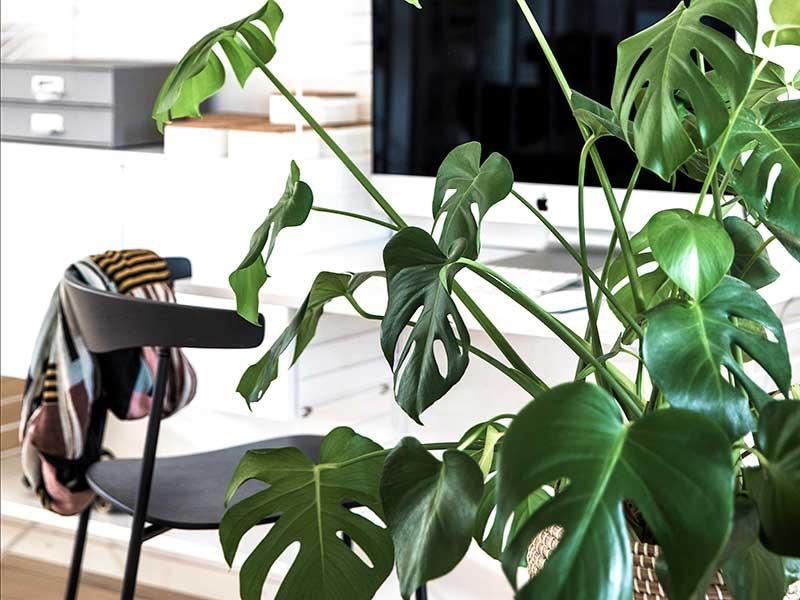 Monstera som krukväxt på hemma kontor