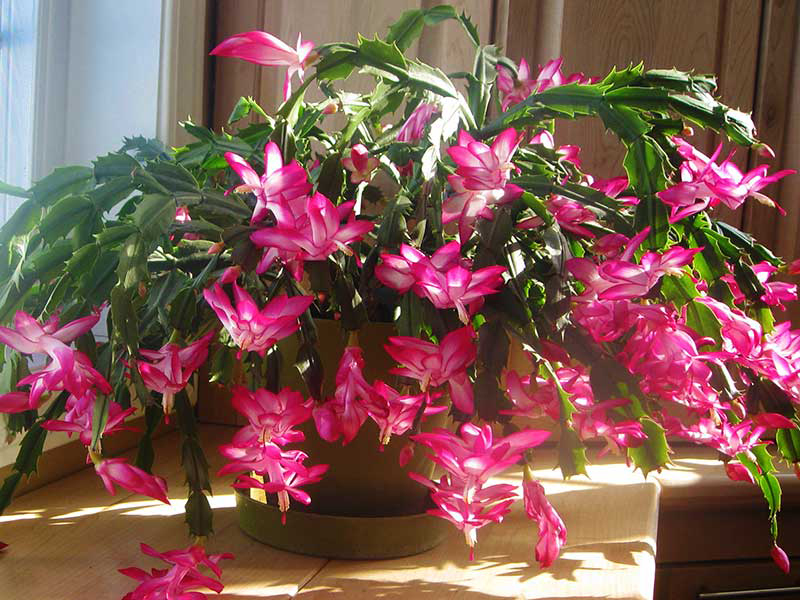 Blommande novemberkaktus Schlumbergera